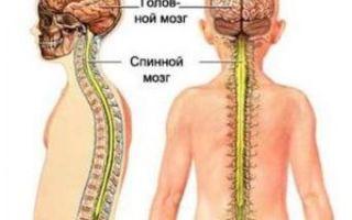 Спинной мозг — анатомия и нервная система