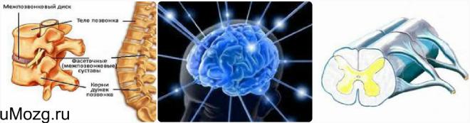 Функции спинного мозга