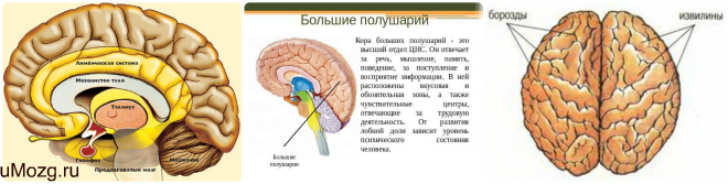 Особенности строения коры мозга