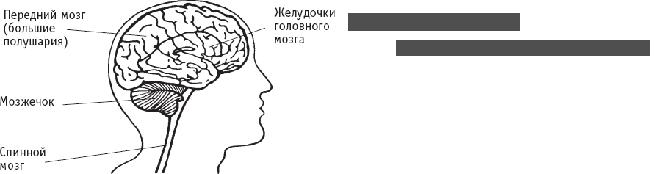 где находится мозжечок человека