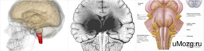 строение ствола головного мозга функции