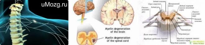 Функции спинного мозга человека