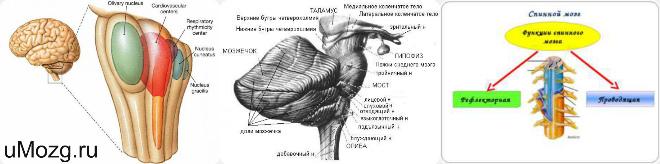 спинной мозг строение и функции