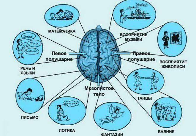 Формирование мозга от момента оплодотворения до рождения