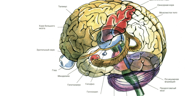 Basic anatomy of the brain